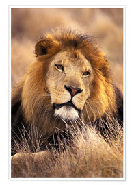 Premium poster  Male lion in the grass - Stuart Westmorland