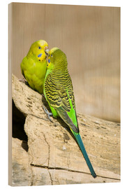 Wood print  Cute budgerigars - Trish Drury