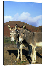 Aluminium print  Two friendly donkeys - Kevin Schafer