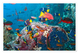 Premium poster  Galapagos Islands - the underwater world of colorful tropical fish - Paul Souders