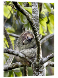 Acrylic print  Three-finger sloth rests on tree - Don Grall