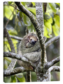Canvas print  Three-finger sloth rests on tree - Don Grall