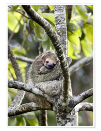 Premium poster  Three-finger sloth rests on tree - Don Grall