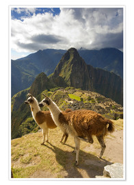 Premium poster  Llamas and a view of Machu Picchu - Howie Garber