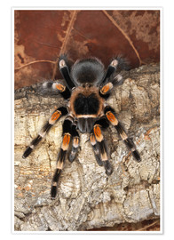 Premium poster  Red knee tarantula - Adam Jones