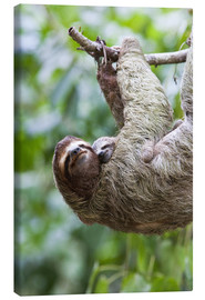 Canvas print  Sloth with baby on the branch - Jim Goldstein