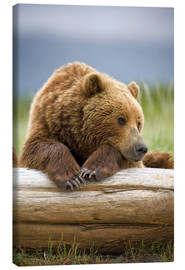 Canvas print  Brown bear is relaxing on tree trunk - Paul Souders