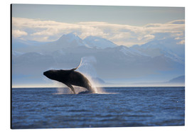 Aluminium print  Humpback whale jumps out of water - Paul Souders