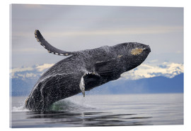 Acrylic print  Humpback whale in Frederick Sound - Paul Souders