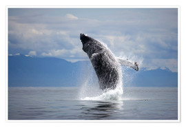 Premium poster  Humpback whale in the jump - Paul Souders