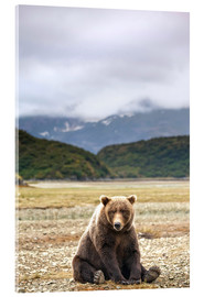 Acrylic print  Grizzly Bear is resting in front of Kinak Bay - Paul Souders