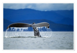Premium poster  Fin of a humpback whale - Paul Souders