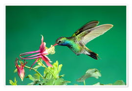 Premium poster  Broad-billed hummingbird on columbine - Rolf Nussbaumer