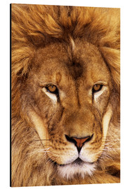 Aluminium print  Portrait of an African lion - Dave Welling