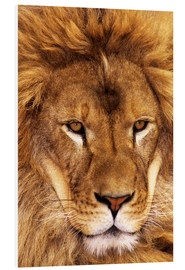 Forex  Portrait of an African lion - Dave Welling