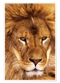 Poster  Portrait of an African lion - Dave Welling