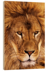 Wood print  Portrait of an African lion - Dave Welling