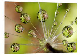 Acrylic glass  Water drops on a dandelion - Christopher Talbot Frank