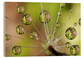 Wood print  Drops of water on dandelion - Christopher Talbot Frank