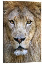 Canvas print  Portrait of a wise lion - Tananarive Aubert