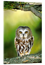 Acrylic print  Saw Whet Owl - Dave Welling