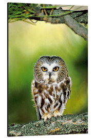 Aluminium print  Northern saw-whet owl - Dave Welling