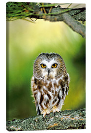 Canvas print  Northern saw-whet owl - Dave Welling