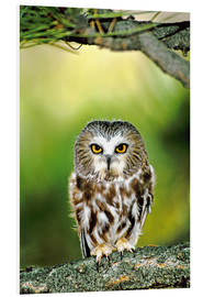 Foam board print  Northern saw-whet owl - Dave Welling