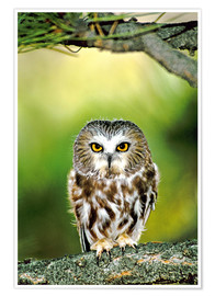 Premium poster  Northern saw-whet owl - Dave Welling