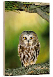 Wood print  Northern saw-whet owl - Dave Welling