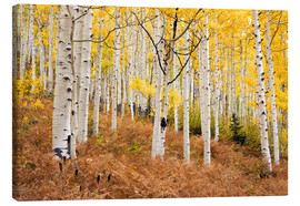 Canvas print  Aspen forest and ferns in autumn - Don Grall