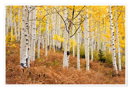 Premium poster  Aspen forest and ferns in autumn - Don Grall