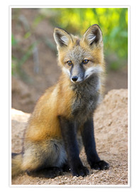 Premium poster Portrait of a young fox