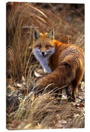 Canvas print  Red Fox looks back - Cathy & Gordon Illg