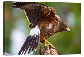 Canvas print  Desert buzzard with wide wings - Larry Ditto