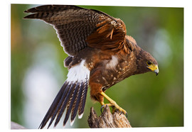Forex  Harris hawk with outstretched wings - Larry Ditto