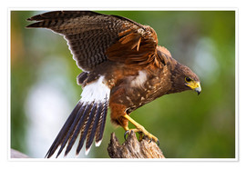 Premium poster  Desert buzzard with wide wings - Larry Ditto