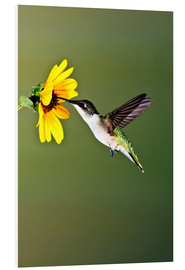 Foam board print  Ruby-throated Hummingbird at sunflower - Larry Ditto