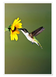 Premium poster  Ruby-throated Hummingbird at sunflower - Larry Ditto