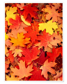 Premium poster  Colorful maple leaves - Scott T. Smith