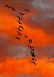 Aluminium print  Snow geese in the sunset - Cathy & Gordon Illg