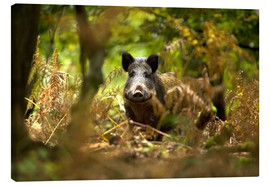 Canvas print  Boar in the deciduous forest - David Slater