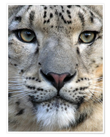 Premium poster  snow leopard - Wolfgang Dufner