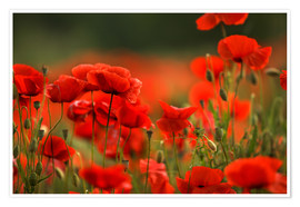 Premium poster Red Poppy Flowers 14