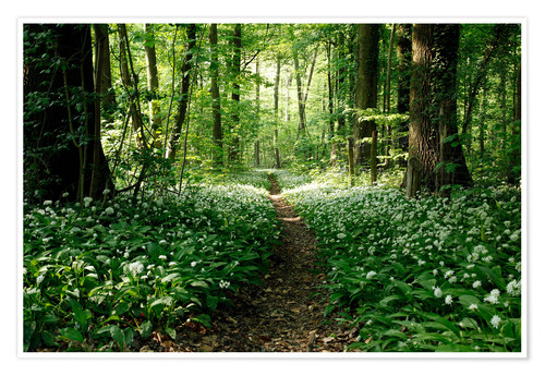 Premium poster Spring-Forest Ramsons