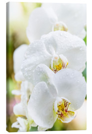 Canvas  White Orchid - Suzka