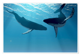 Premium poster  Two humpback whales - Corey Ford