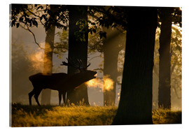Acrylic print  Roaring red deer in the forest - Alex Saberi