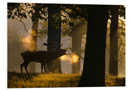 Foam board print  Roaring red deer in the forest - Alex Saberi