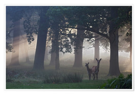 Premium poster  Two red deer in a clearing - Alex Saberi